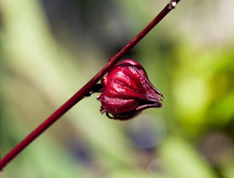 hibiscus calyx