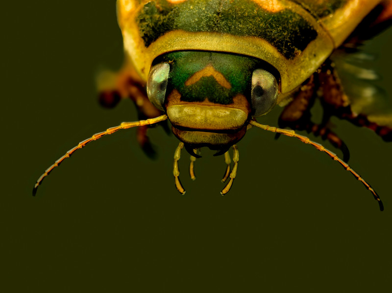 Giant Predaceous  Diving Beetle