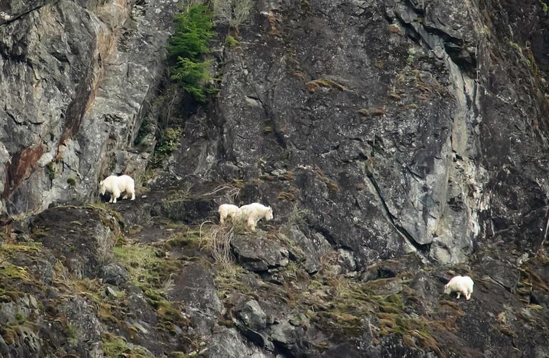mountain_goats_02613_4_north_bend_goats-sm.jpg