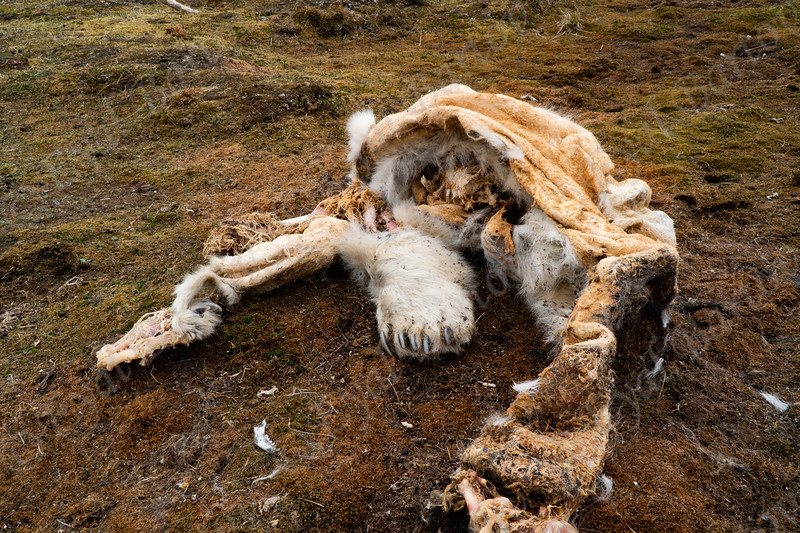 Polar bear carcass Polar Bear (Ursus maritimus) דוב הקוטב