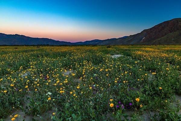 Anza Borrego Desert ~ Super Bloom