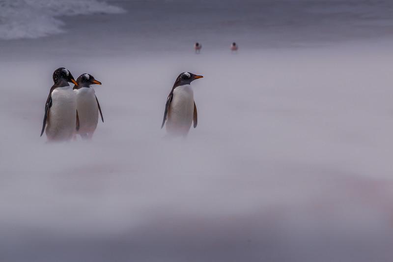 Gentoo Penguins, Falkland Islands