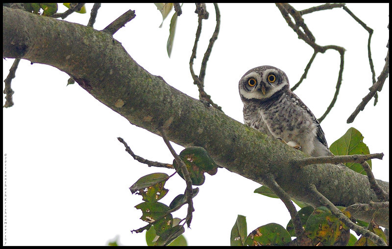Spotted owlet...very shy creatures..still trying to get a good shot of these....