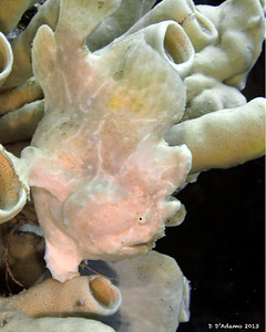 Giant Frogfish, white side