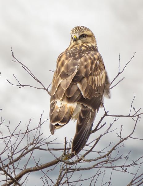 hawk crex smug.jpg