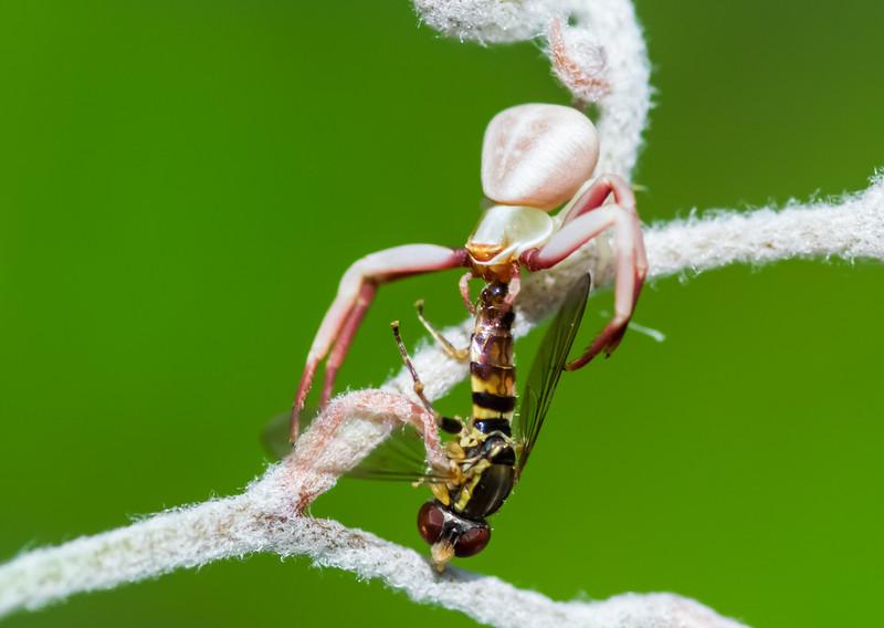 Crab spider, victim, and goldencrest