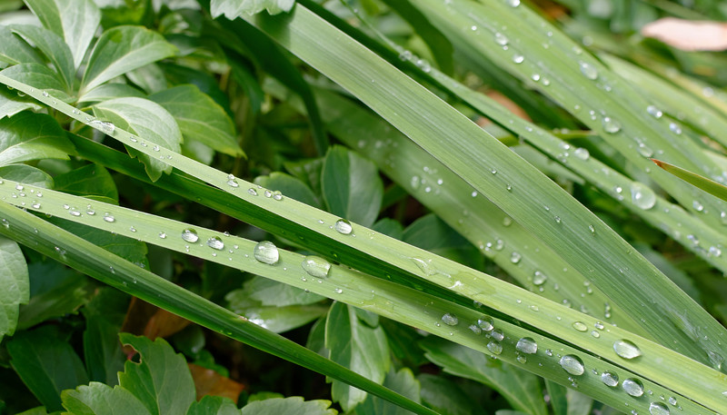 Irises and Pachysandra (1).jpg