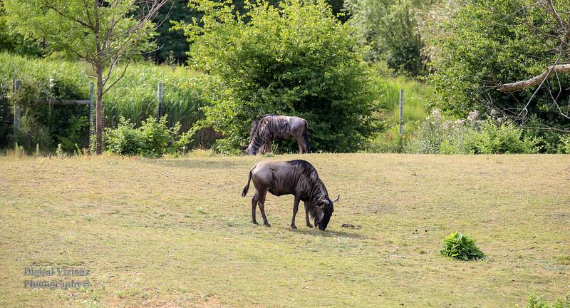 2016-07-17 Fort Wayne Zoo 332LR.jpg