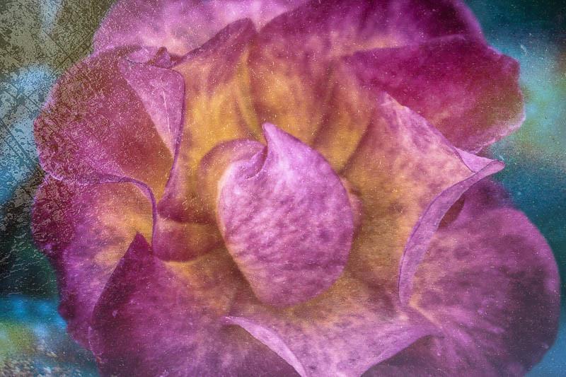 December 15 - Rose.jpg