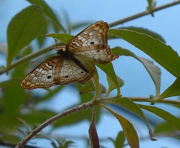Santa Barbara Butterfly Habitat