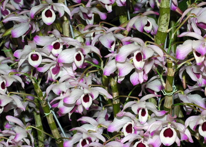 Orquidea 11.jpg