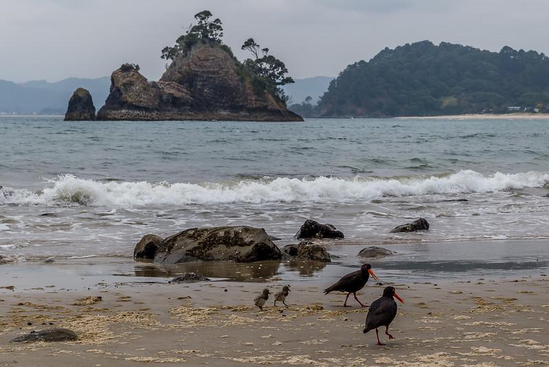 Nachwuchs bei den Austerfischern