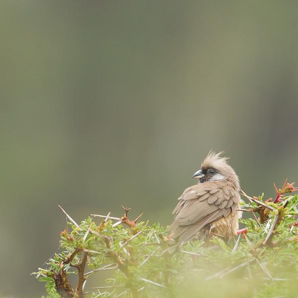 Speckled Mousebird - Lake Nakuru National Park, Kenya