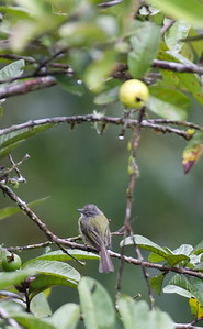 Paltry Tyrannulet