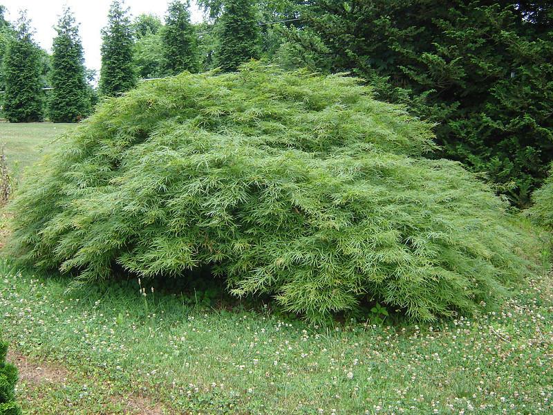 Acer palmatum dissectum 'Viridis'