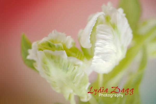 Tulips, White, #3824