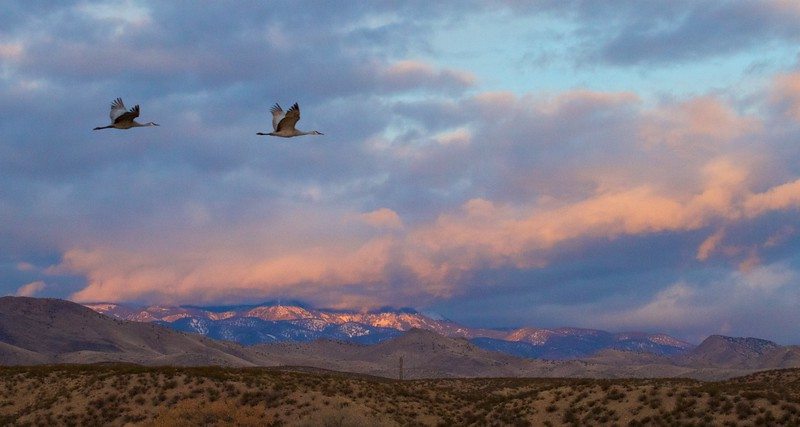Sandhill Crane Bosque del Apache NWR Socorro NM IMG_0007333.dng.jpg