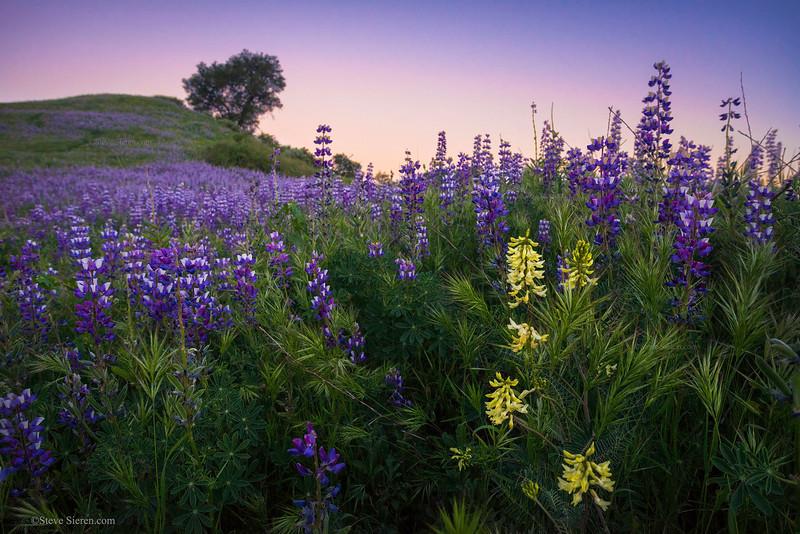 Santa_Clarita_Wildflowers_Green_Hills_Spring_Santa_Susana_Mountains_Southern_California_DSC1060.jpg