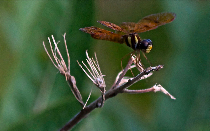 Tiny Dragonfly Perithemis thais (male)