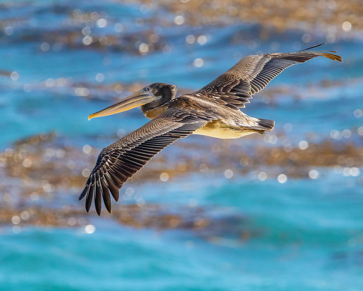 American Brown Pelican