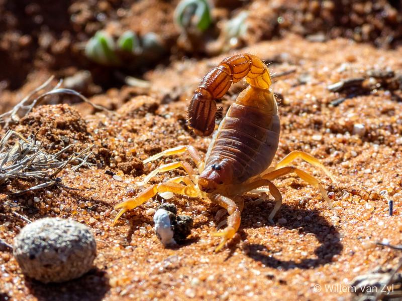20190705 Kalahari Thicktailed Scorpion (Parabuthus raudus) from Olifantshoek, Northern Cape