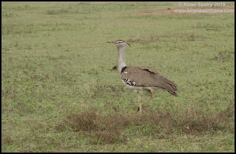 Kori Bustard, Ngorongoro Crater, Ngorongoro Conservation Area, Tanzania, November 2019