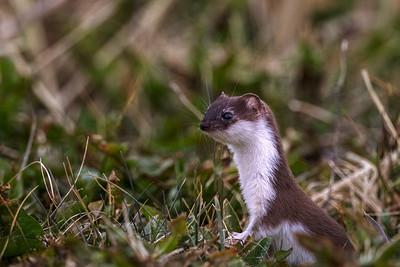 Snømus (Least weasel)