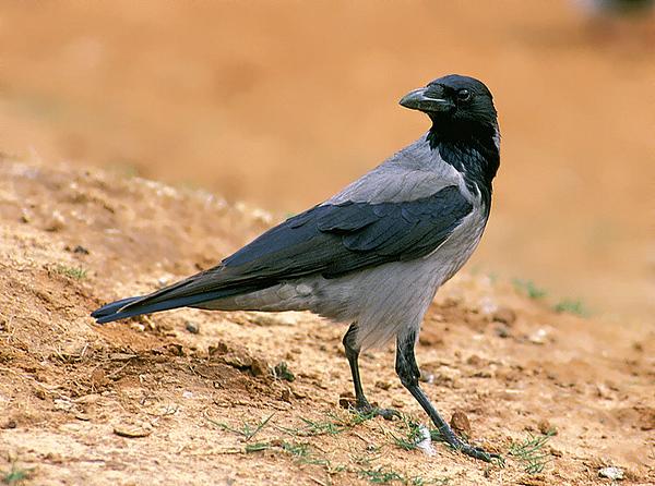 Hooded crow.jpg