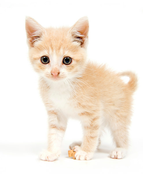 A yellow kitten looking straight ahead on white background