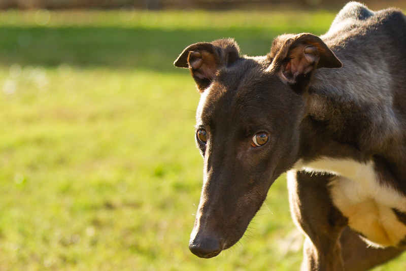 Elite Greyhound Adoptions in Loxahatchee Groves has been rescuing greyhounds from the infamous Canidrome, in Macau, China.  The Canidrome closed in July 2018 and over 600 dogs are being shipped to rescues in Europe and America. The dogs are crated in Macau, transported to the airport in Hong Kong, flown to Frankfurt, Germany, transferred to another plane and then flown to Miami International Airport, where they pass through customs and eventually get picked up by Sonia Stratemann of Elite Greyhound Adoptions.  Image captured on  Monday, December 31, 2018 at Elite Greyhound Adoptions in Loxahatchee, Florida. [JOSEPH FORZANO/palmbeachpost.com]