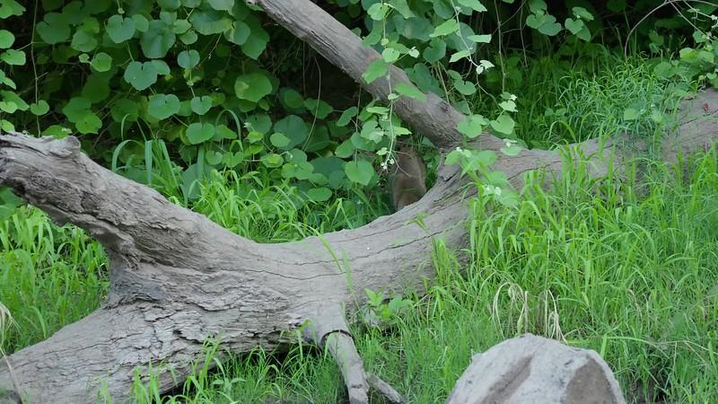 Original Bobcat on Big Chico Creek.mp4