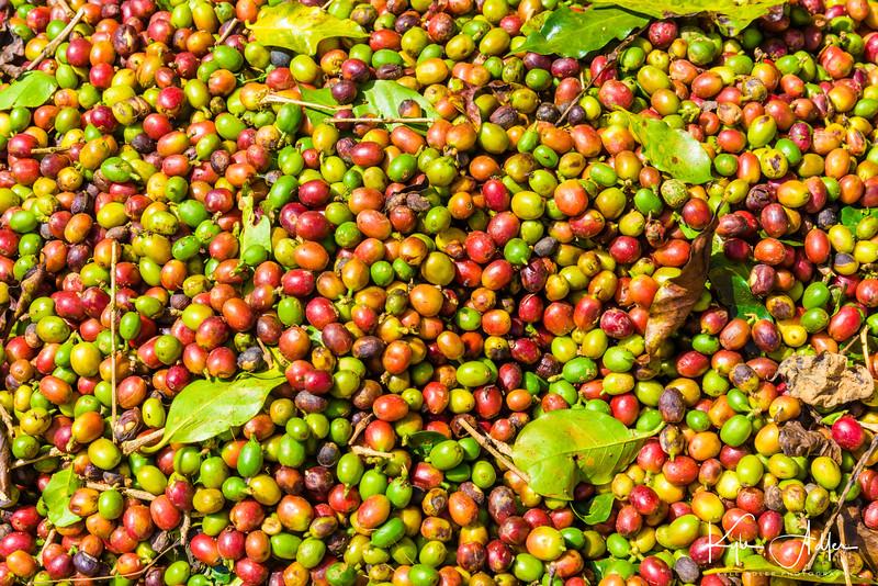Coffee berries at harvest.