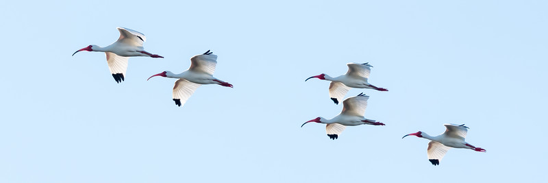 Ibis Group FLying