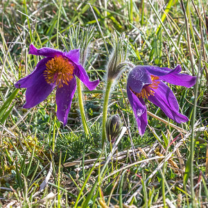 2017-04-19 Pasque Flowers Glos WLT