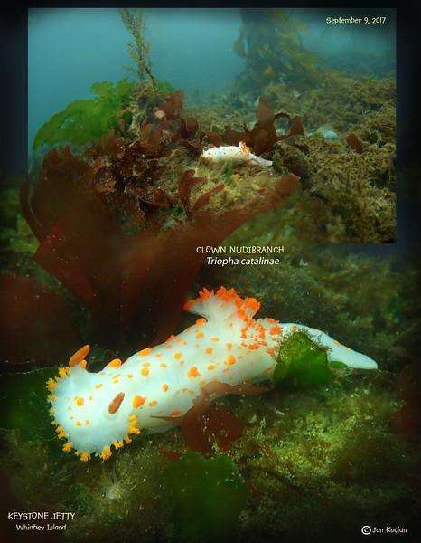 9.9.17 Clown nudibranch .jpg
