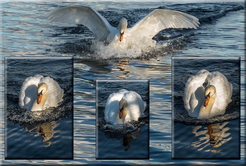 Triptych Swanning 2 trim.jpg