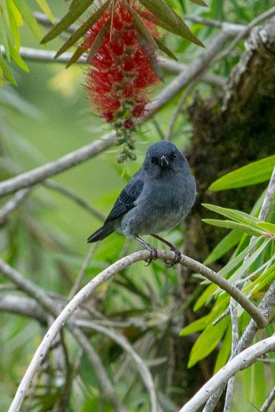 Slaty Flowerpiercer (Male)