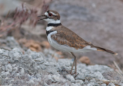 Plovers, Sandpipers, and Allies (CHARADRIIFORMES)