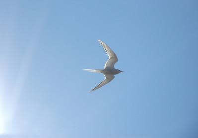 Kría (or: When Terns Attack!)