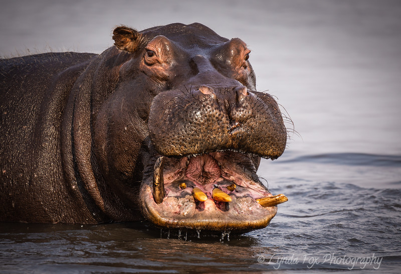 Hippopotamus Wide Open