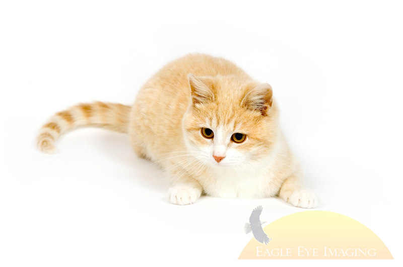 A yellow cat is ready to pounce on a white background