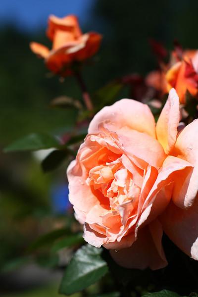 Portland International Rose Test Garden  2197.jpg