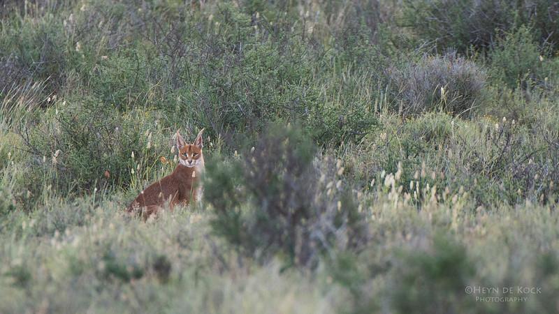 Caracul, Karoo NP, WC, SA, Jan 2014-1.jpg