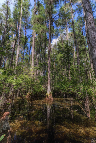 Inside a cypress dome swamp