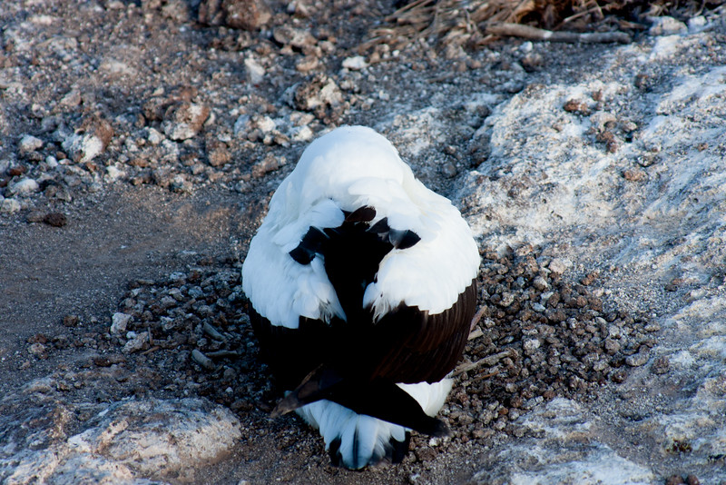 Resting Bird : Journey into Genovesa Island in the Galapagos Archipelago