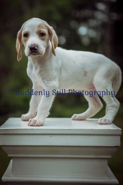 6-11 Wentworth Puppies (37 Days Old)