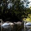 Swans 2016 Lakeside
