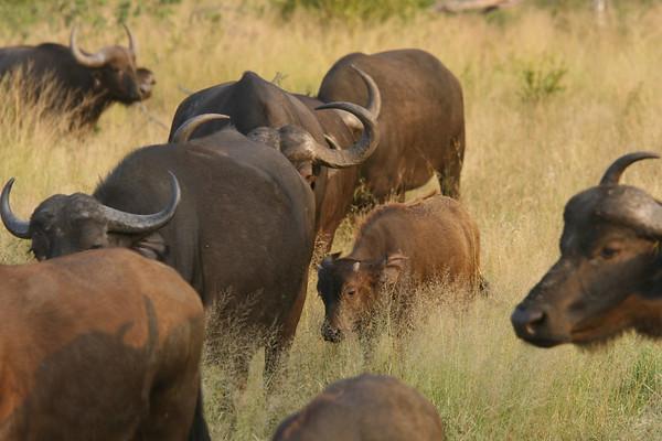African (Cape) buffalo