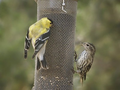 Dinner With An American Goldfinch