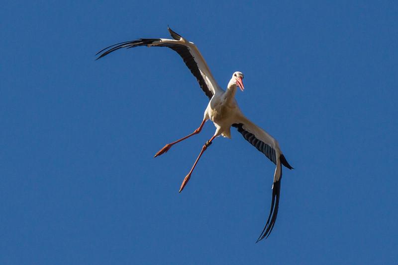 Storch im Landeanflug... - Raisting - Oberbayern